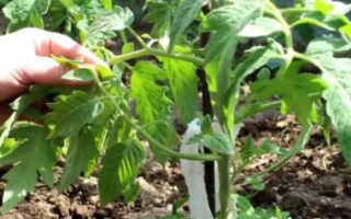 Как пасынковать помидоры в теплице?