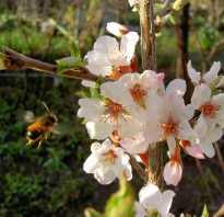 Уход за сливой весной и подкормка