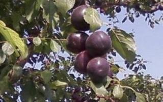 Алыча Черный Принц — описание сорта, фото и отзывы садоводов