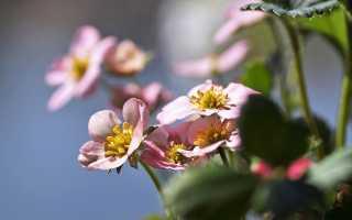 Клубника цветет, но ягоды не завязываются — что делать?