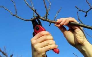 Обрезка абрикоса осенью: советы садоводам