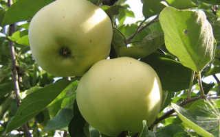 Яблоня Папировка — описание сорта, фото, отзывы