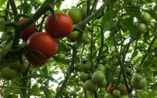 Томат Спрут F1 — описание сорта, отзывы, урожайность