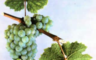Виноград Рислинг: описание сорта, фото и отзывы садоводов