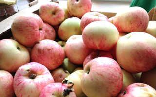 Яблоня Розовый Налив — описание сорта, фото, отзывы