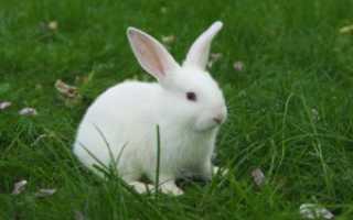Какая моча должна быть у кролика