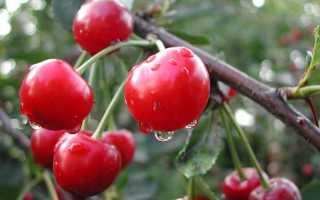 Сорта вишни для Урала с фото и описанием