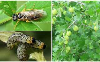 Чем обработать крыжовник от гусениц, если уже есть ягоды?