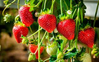 Ампельная клубника с розовыми цветами — уход и выращивание