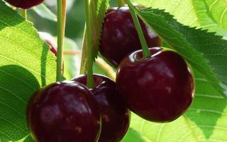 Вишня Октава — описание сорта, фото, отзывы садоводов