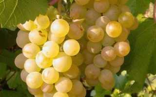Виноград Бианка: описание сорта, фото и отзывы садоводов