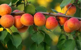 Как посадить абрикос весной: пошаговое руководство: секреты садоводов