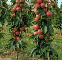 Колоновидные яблони — сорта для Сибири