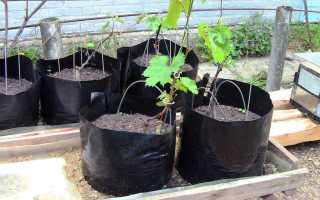 Как посадить виноград весной саженцами: пошагово