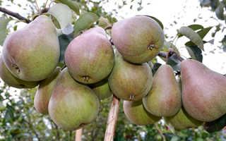 Груша Брянская красавица — описание сорта, фото, отзывы садоводов