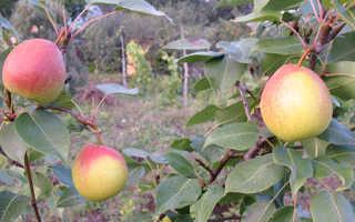 Груша Радужная — описание сорта, фото, отзывы садоводов