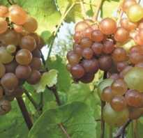 Виноград Платовский: описание сорта, фото и отзывы садоводов