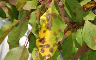 Почему на яблоне в июне желтеют листья?