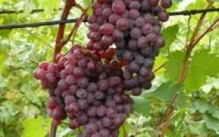 Виноград Русский ранний: описание сорта, фото и отзывы садоводов