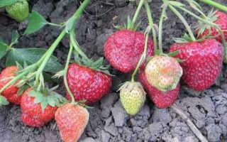 Земляника Маэстро: выращивание, описание сорта, фото и отзывы