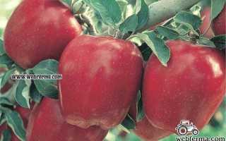 Яблоня Делишес — описание сорта, фото, отзывы