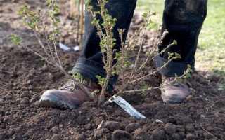 Как посадить крыжовник весной?