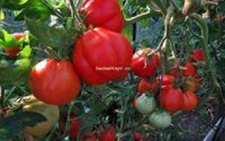 Томат Инжир Красный — описание сорта, фото, урожайность и отзывы садоводов