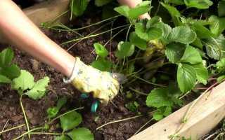Нужно ли обрезать листья клубники после плодоношения?