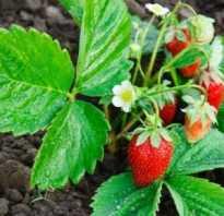 Чем удобрять клубнику перед цветением?