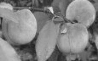 Персик Саратовский Ранний — описание сорта и отзывы садоводов