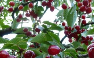 Вишня Молодежная — описание сорта, фото, отзывы садоводов