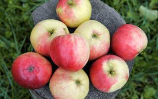 Яблоня Афродита — описание сорта, фото, отзывы