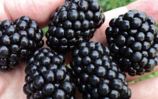 Ежевика Гигант — описание сорта, характеристика, выращивание, фото и отзывы