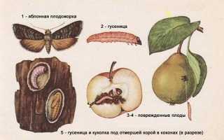 На яблоне яблоки червивые — что делать?