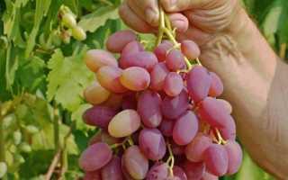 Виноград Юбилей Новочеркасска: описание сорта, фото и отзывы садоводов