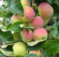 Яблоня Юбиляр — описание сорта, фото, отзывы