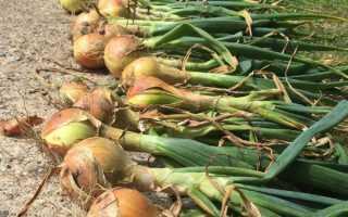 Лук эксибишен без рассады: выращивание без хлопот