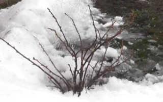 Обработка кустов смородины и крыжовника весной: видео