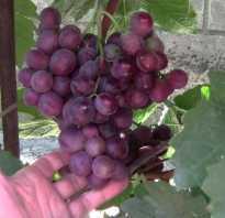 Виноград Сенатор: описание сорта, фото и отзывы садоводов
