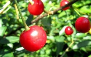 Вишня Звездочка — описание сорта, фото, отзывы садоводов