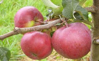 Яблоня Антей — описание сорта, фото, отзывы