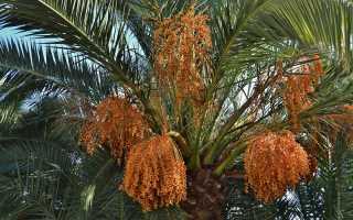 Правила ухода за финиковой пальмой в домашних условиях
