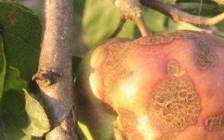 Парша на яблоне — описание и лечение