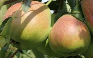 Груша Бере — описание сорта, фото, отзывы садоводов