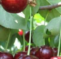 Вишня Харитоновская — описание сорта, фото, отзывы садоводов