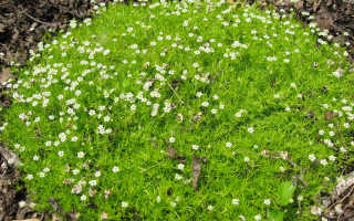 Мшанка шиловидная: как ухаживать за ирландским мхом