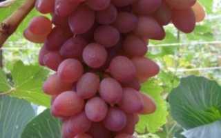 Виноград Водограй: описание сорта, фото и отзывы садоводов