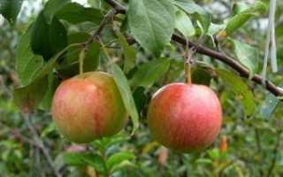 Яблоня Родина — описание сорта, фото, отзывы