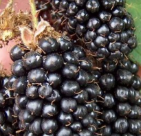 Ежевика Бжезина — описание сорта, характеристика, выращивание, фото и отзывы