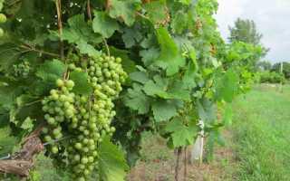 Виноград на Урале: посадка и выращивание